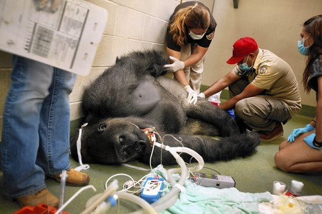 How L.A. Zoo cares for a 360-pound gorilla who won't take his medicine | Los Angeles (CA) Times | CALS in the News | Scoop.it
