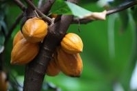 Le cacao en voie de disparition ? | Actualité de l'Industrie Agroalimentaire | agro-media.fr | Scoop.it