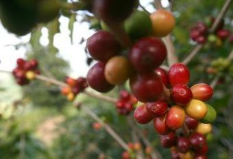 Puerto Rico struggles to revive coffee industry - The Spokesman Review | advertising | Scoop.it