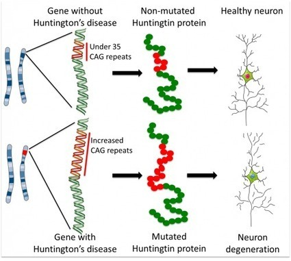 Huntington's disease: how could stem cells help? | neuro-law-gical | Scoop.it