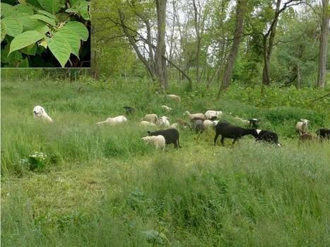 Sur les bords de l'Azergues (69), l'éco-pâturage comme mode de gestion contre les plantes invasives | Agronomie, élevage, eau et sol - Montpellier SupAgro | Scoop.it