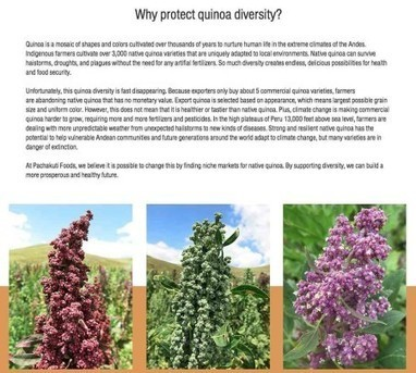 Milking quinoa for livelihoods | Agricultural Biodiversity | Scoop.it