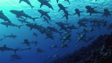 Vidéo Full HD | Plongée face à un mur de requins ! | Plongeurs.TV | Scoop.it