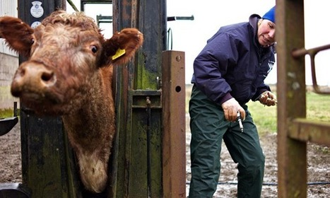 BBSRC funded: Tuberculosis threat requires mass cull of cattle, not badgers, study reveals | BIOSCIENCE NEWS | Scoop.it