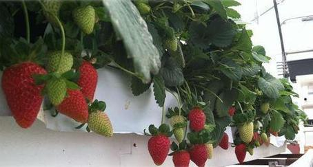 Arizona Strawberry Day is coming | Tucson News Now | CALS in the News | Scoop.it