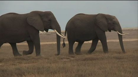 VIDEO: Elephant slaughter risks futu