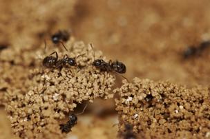 Comment les fourmis s'auto-organisent pour construire leur nid | Bureau de curiosités | Scoop.it