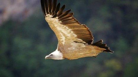 Un vautour cible de tirs en Isère – animaux - France 3 Alpes   Ces animaux sauvages ou domestiques maltraités par l'homme   Scoop.it