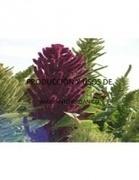 Cultivo de Amaranto | Amaranto (Amaranthus) | Scoop.it