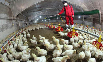 Establishing Correct Understanding on H7N9 and Chicken Farming | Animal Feed | Scoop.it