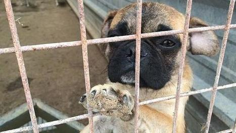 Opinion: Cruel puppy farms and commercial dog breeders should be tightly ... - Courier Mail | Dog Lovers | Scoop.it