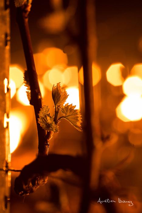 Superbes images de bougies disséminées dans le vignoble de Chablis pour lutter contre le gel | Le Vin en Grand - Vivez en Grand ! www.vinengrand.com | Scoop.it