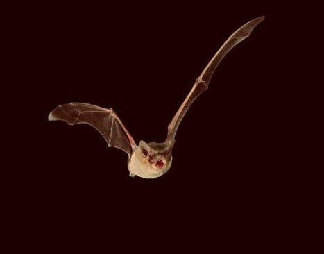 Brazilian Free-Tailed Bat is Fastest Flying Animal, New Study Says | Biology | Sci-News.com | Environment Wildlife Conservation | Scoop.it