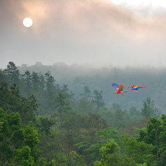 Scarlet Macaws in Early Morning Light | Belize in Social Media | Scoop.it