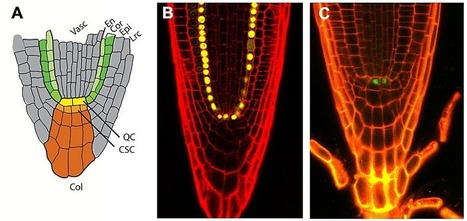 PLOS Biology: A SCARECROW-RETINOBLASTOMA Protein Network Controls Protective Quiescence in the Arabidopsis Root Stem Cell Organizer | Science | Scoop.it