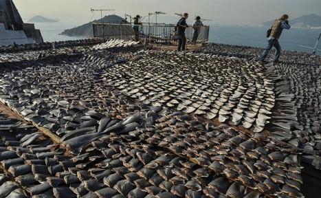 Garuda Bans Shark Fin Transport on Flights: WWF-Indonesia - Jakarta Globe | Food for Pets | Scoop.it
