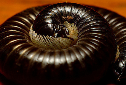 Hundreds of millipedes crashed a train in Australia | Lauri's Environment Scope | Scoop.it