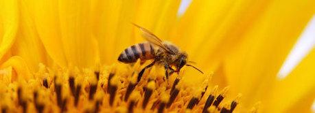 Bijen gesteund met 120 miljoen biologische bloemen | Bloemenmeisje van amersfoort | Scoop.it
