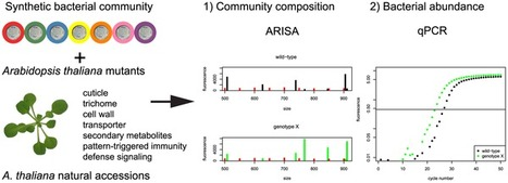 A Synthetic Community Approach Reveals Plant Genotypes Affecting the Phyllosphere Microbiota | Plant-Microbe Symbioses | Scoop.it
