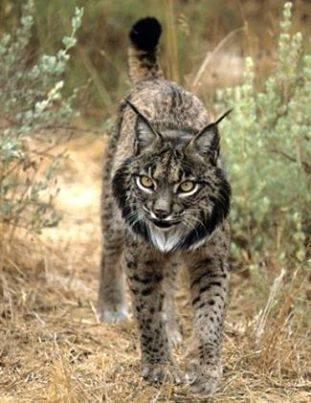 Lynx ibérique | 16s3d: Bestioles, opinions & pétitions | Scoop.it