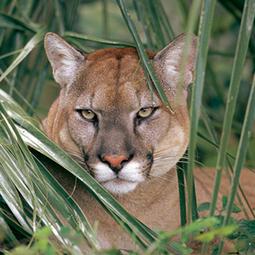 Urgent -- Fight Oil Drilling in Florida Panther Habitat | SARMOTI | Scoop.it