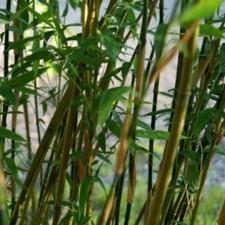 Le plan de bambou : la plante idéale pour une déco extérieure   Le jardin par Maison Blog   Scoop.it
