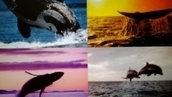 Save the dolphins and whales in Japan: because they are being slaughtered   Oceanic   Scoop.it