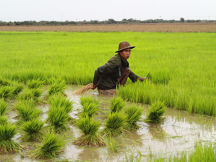 Myanmar taps science to target rice exports - IRRI news (press release)   Rural Development Southeast Asia   Scoop.it