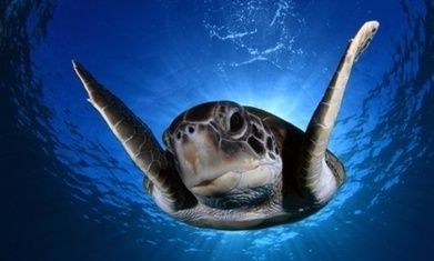 Green turtles swallowing more plastic than ever before, study finds | Inquiry about the world | Scoop.it