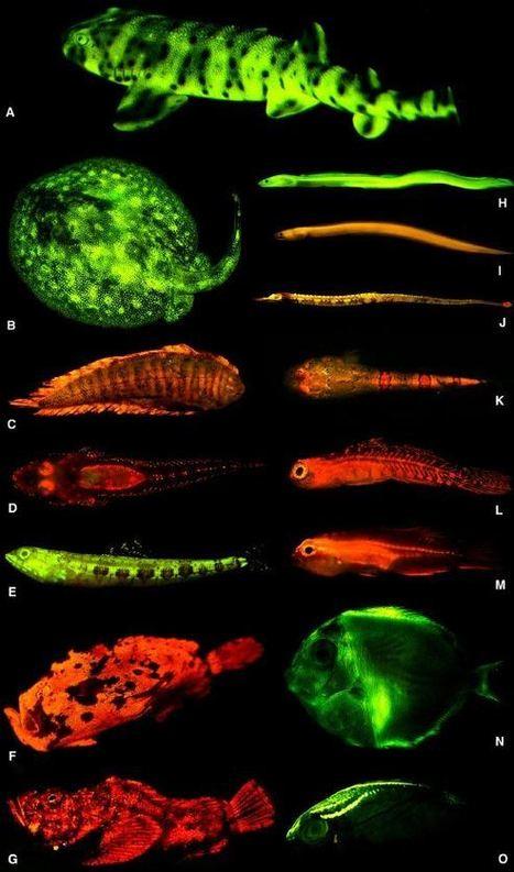 Fluorescent Proteins Found in Vertebrates, Especially Fish | Amazing Science | Scoop.it