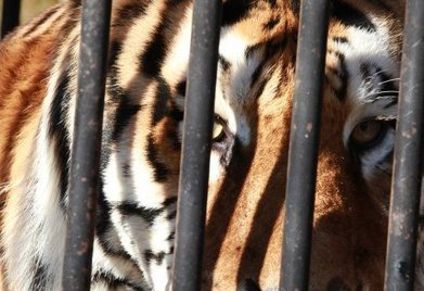 Tell Congress to protect people and big cats | IFAW - International Fund for Animal Welfare | Wildlife | Scoop.it