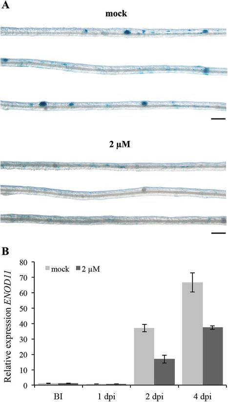 From lateral root density to nodule number, the strigolactone analogue GR24 shapes the root architecture of Medicago truncatula | bolets.cat | Scoop.it