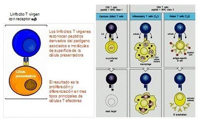 Inmunidad innata y adaptativa | celulas y mecanismos de inmunidad innata | Scoop.it
