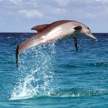 Dolphins Are 10 Times Stronger Than Human Athletes : DNews   Global adventures for schools   Scoop.it