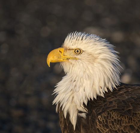 Alaska Eagles 2013 Diary Part 1   Photofocus   Birds in Wisconsin   Scoop.it
