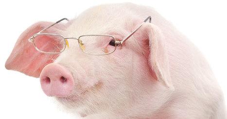 Méfiez-vous des préjugés ! Les cochons sont tout aussi futés que les chimpanzés | Chronique d'un pays où il ne se passe rien... ou presque ! | Scoop.it