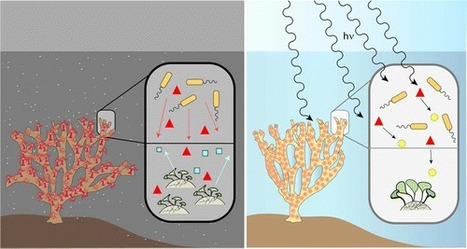 Microbiota of Healthy Corals Are Active against Fungi in a Light-Dependent Manner | Marine Conservation and Ecology | Scoop.it
