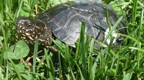 Alsace: Et si la tortue remplaçait la cigogne comme symbole de la région | Alsace Actu | Scoop.it