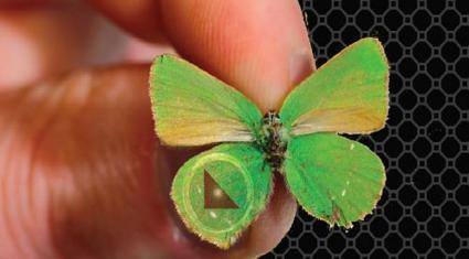 Butterfly Inspires New Nanotechnology | Biomimicry | Scoop.it