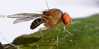 Geneticists Evolve Fruit Flies With the Ability to Count | SynBioFromLeukipposInstitute | Scoop.it