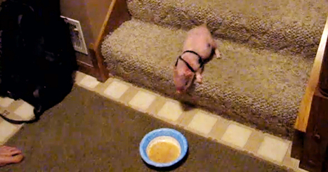 A Miniature Pig Climbs Down The Stairs To Eat A Bowl Of Oatmeal ♥ | Nature Animals humankind | Scoop.it