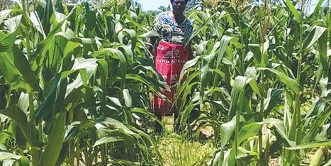 Namibia: Bleak outlook for maize 2015: Total harvest could be less than 35 000 tonnes | MAIZE | Scoop.it