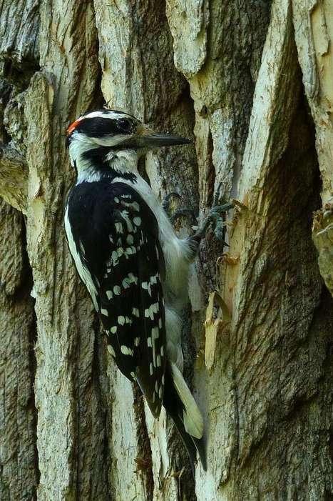 Photo de Picidé : Pic chevelu - Picoides villosus - Hairy Woodpecker | Fauna Free Pics - Public Domain - Photos gratuites d'animaux | Scoop.it
