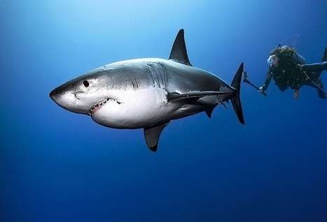 Diver's out-of-cage great white shark encounter is photo opportunity of a lifetime - Pete Thomas Outdoor   ScubaObsessed   Scoop.it