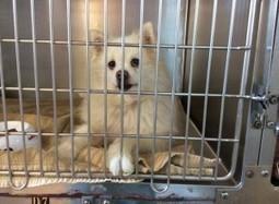 "HAPPY ENDING: Home, Safe n' Sound: Found: Roaming Dog: Edward St., Halifax, Halifax Co., NS — American Eskimo, Male, Senior — ""Unknown""   Nova Scotia Hunting   Scoop.it"