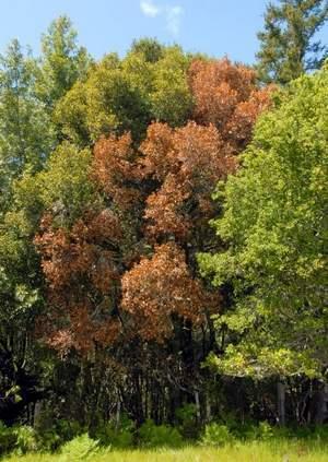 Sudden Oak Death plagues local groves | prehistoric plants | Scoop.it