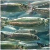 Speak out: River herring plunges 98 percent PLEASE SIGN ! ! | OUR OCEANS NEED US | Scoop.it