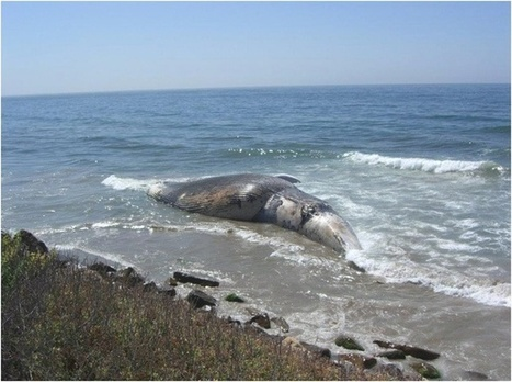 This Dead Whale Is Helping Science in an Incredibly Gross Way - The Atlantic Cities | ALS Animals | Scoop.it