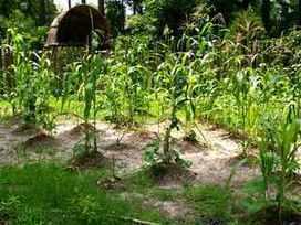 Cultiver les trois soeurs : maïs, haricots, courges | planter des bulbes | Scoop.it
