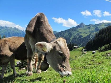 Avoiding milk losses with healthier cows | CIHEAM Press Review | Scoop.it